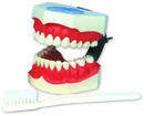 Independent Dental Tooth Model With Toothbrush ** SPECIAL **